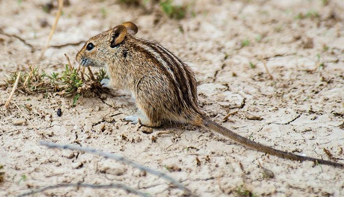 Виды мышек животных