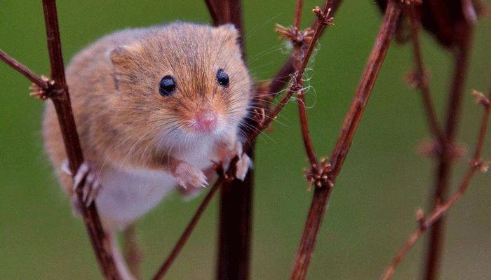 Маленький зверёк дома: сколько живут мыши?