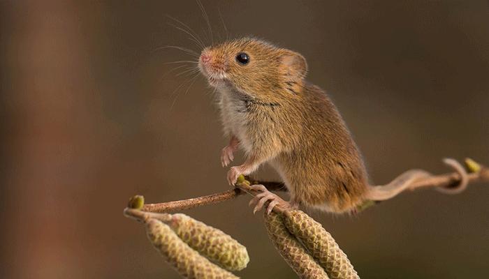 Полевая мышь размножение