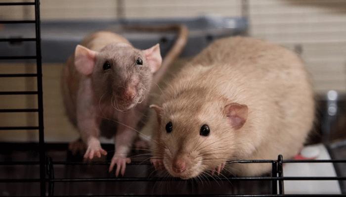 Паразиты у декоративной крысы - кто они, и как лечить?
