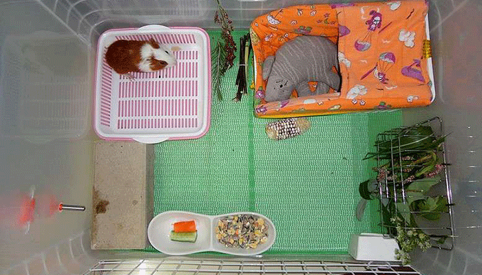 Лоток для морской свинки: как подобрать и приучить к нему вашего питомца