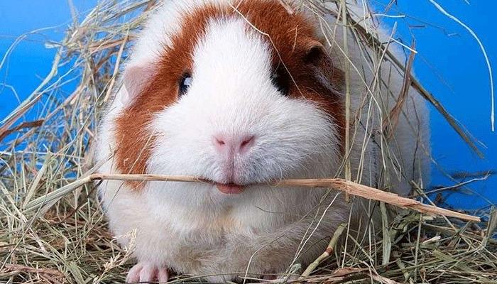 Лучшая подстилка для морской свинки: рекомендации по выбору наполнителя в клетку