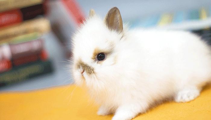Декоративные кролики - подробный разбор содержания и ухода