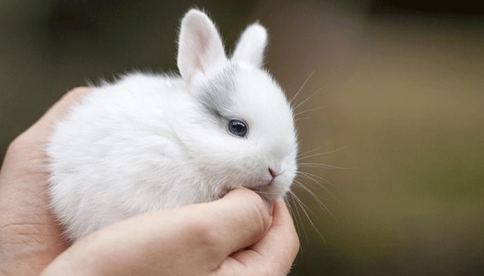 Сколько живет вислоухий кролик в домашних условиях