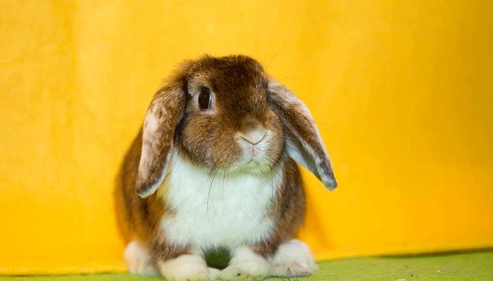 Кролики с висячими ушами порода