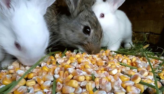 Рацион питания для кроликов из кукурузных зерен, листьев, побегов и початков