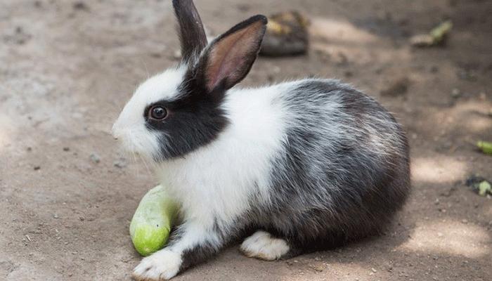 Можно ли включать огурец в рацион кроликов (обычных и декоративных) и как это правильно сделать?