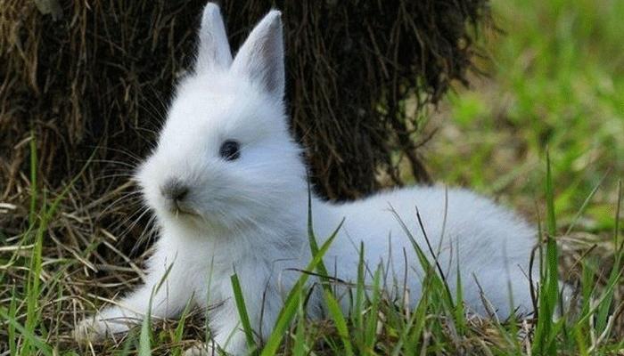 У кроликов вздуваются животы